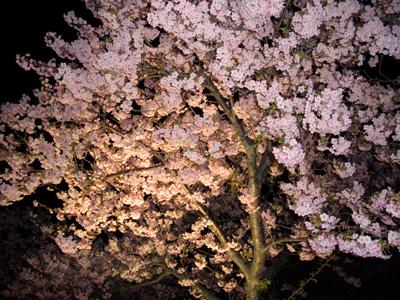 河津桜ライトアップ2