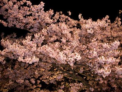 河津桜ライトアップ1