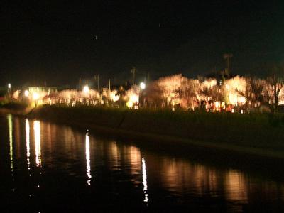 河津桜ライトアップ4