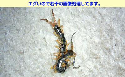 百足・むかで・ムカデ・蜈蚣