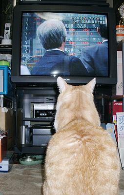 TVを観るネコ