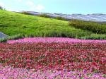 花どんたく [花の絨毯]