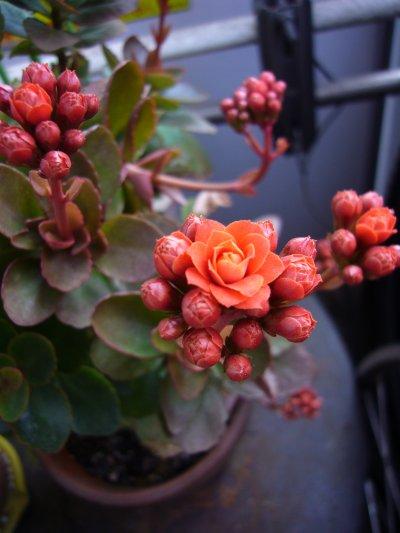 最初に咲いた花