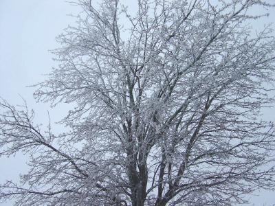 凍りついた樹