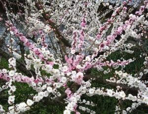 賀名生梅林の梅