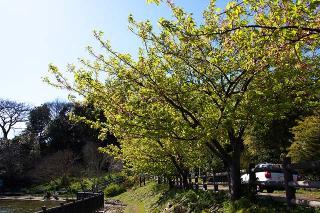 20070312 小松ヶ池 桜