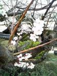 桜わまだかいのぉ♪