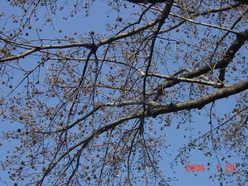 1.29 栗の木?.JPG
