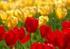 tulip8-ss.jpg