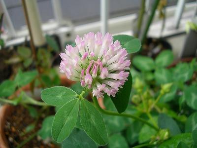 s-clover-2.jpg