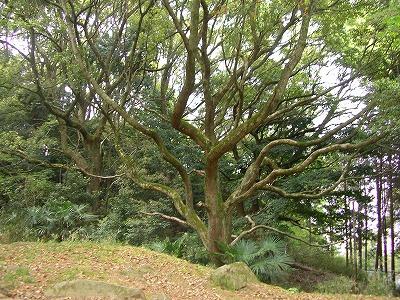 s-iimori-tree.jpg