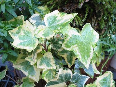 s-ivy1.jpg