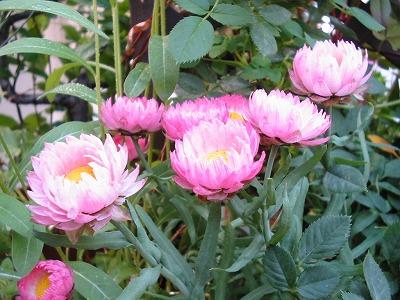 s-pinkflower.jpg