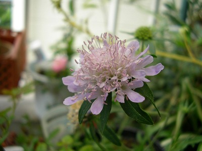 s-scabious.jpg
