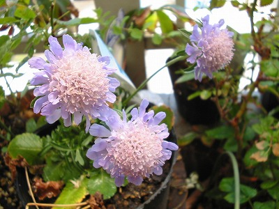s-scabious1.jpg
