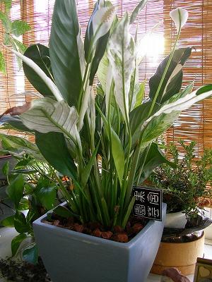 s-spathiphyllum1.jpg