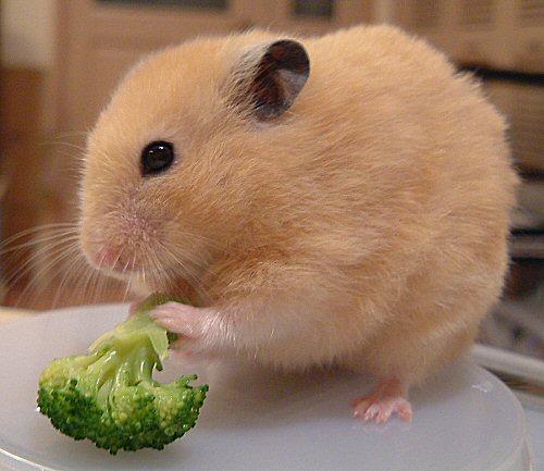 ブロッコリー食べてみるだちゅ