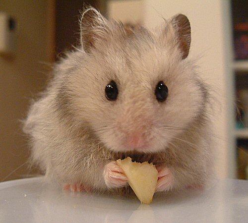 りんごを食べてみるでちゅょ