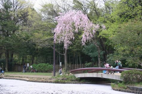 枝垂れ桜と花筏