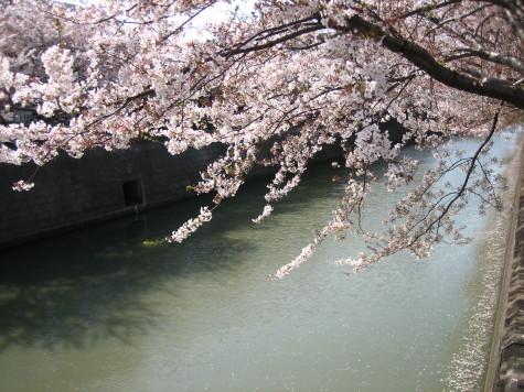 散って行く桜