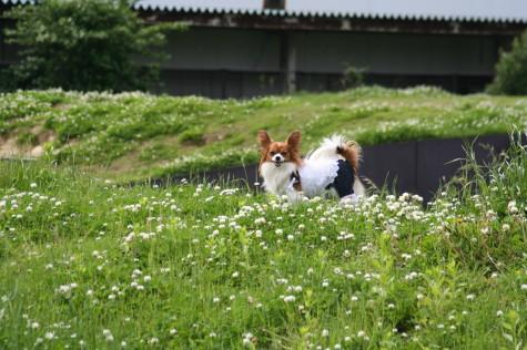 牧草犬ブラン