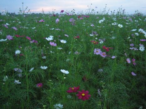 コスモス街道の花