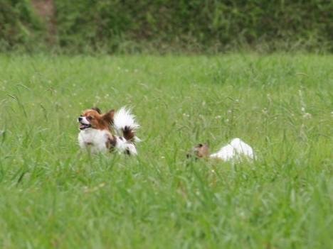 草むらで遊ぶラヴィ&ブラン