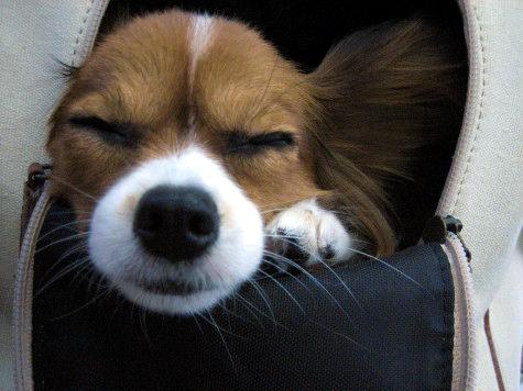 キャリーの中で眠るブラン