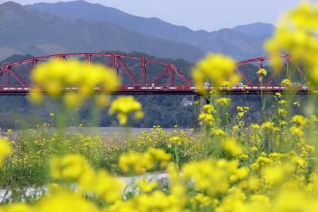 中村赤鉄橋と菜の花
