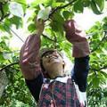 梨のもぎとり/折原果樹園