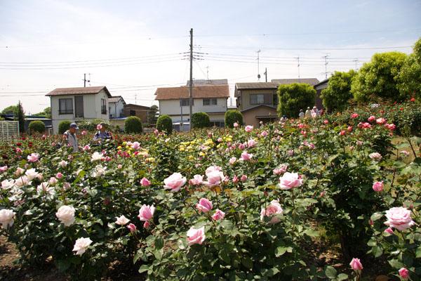 inabara_8056.jpg