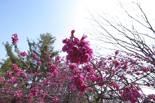 kanhikanzakura_0055.jpg