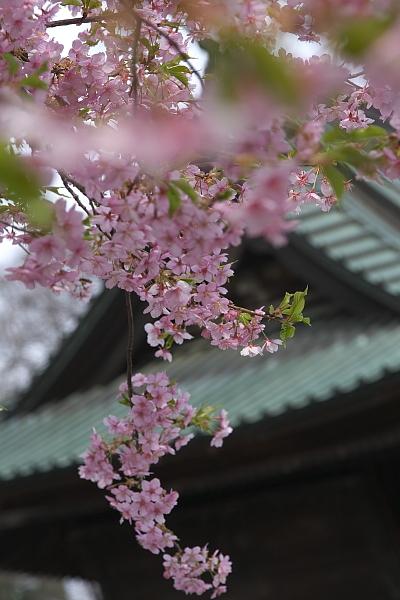 kawatuzakura_0094.jpg