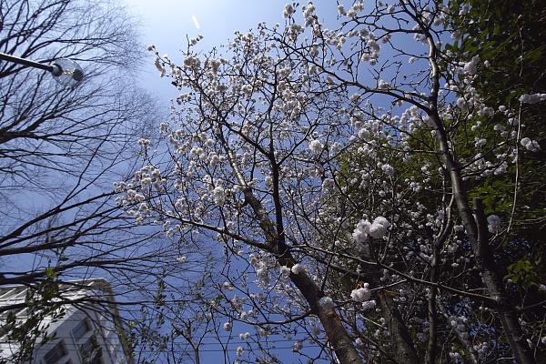 kumagaizakura_0083.jpg