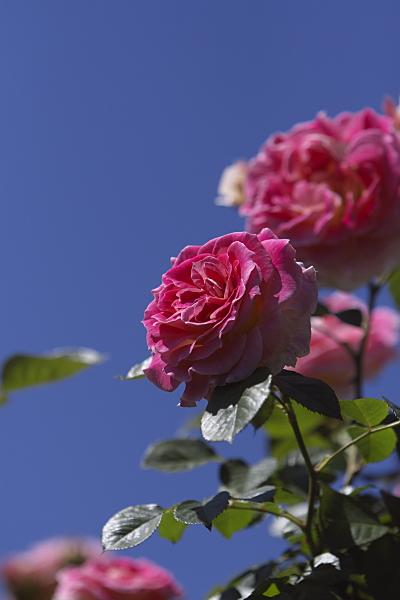 rose1_2419.jpg