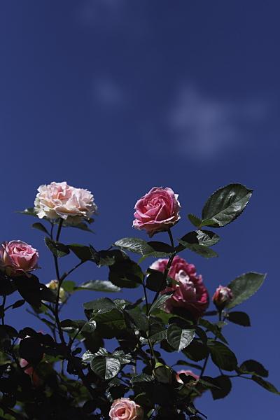 rose1_2420.jpg