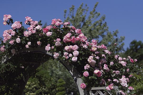 rose1_2476.jpg