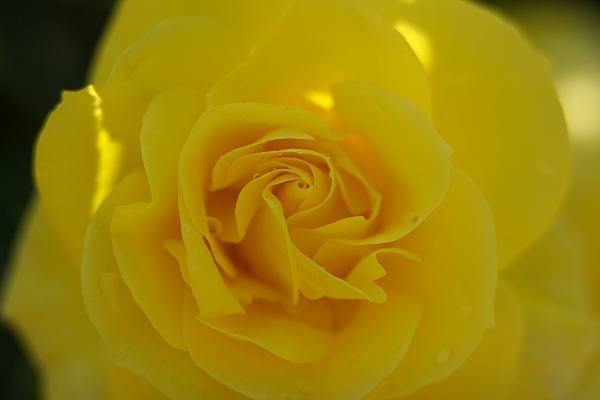 rose1_6793.jpg