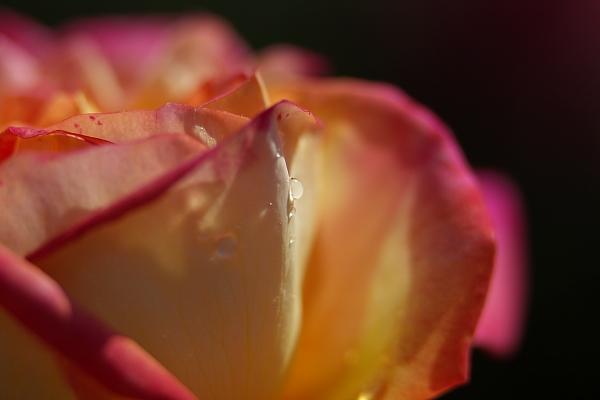 rose1_6816.jpg
