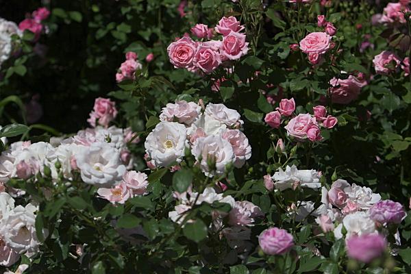 rose2_2425.jpg
