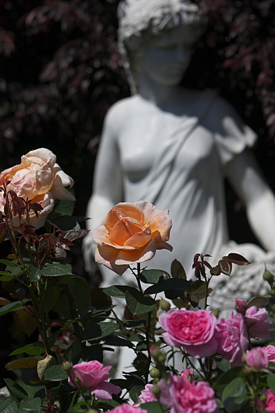 rose2_2428.jpg