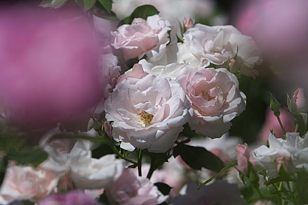 rose2_2430.jpg