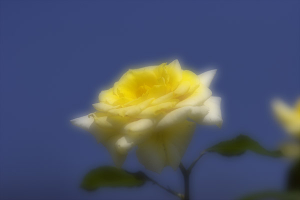 rose_0201.jpg