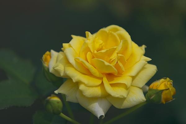 rose_0396.jpg