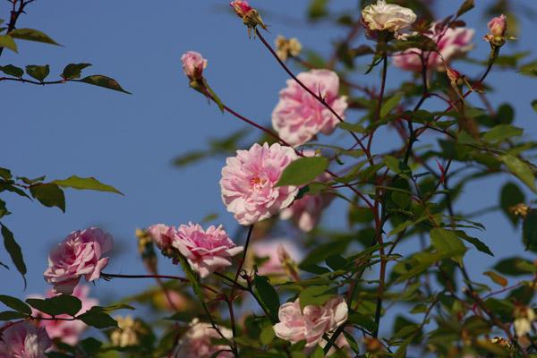 rose_1708.jpg
