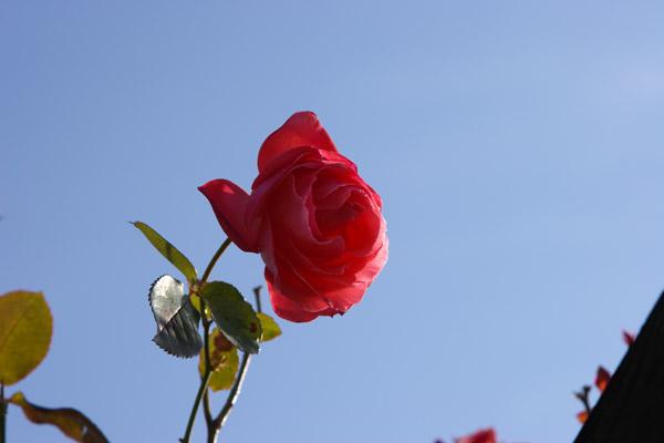 rose_1718.jpg