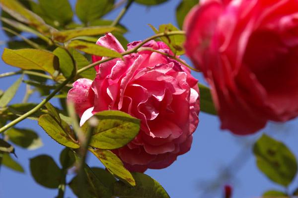 rose_1742.jpg