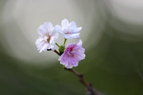 sakura_0551.jpg