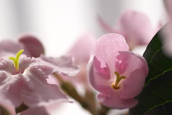 sakura_5301.jpg