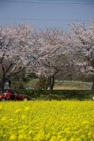 sakura_gakobashi1.jpg